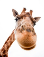 giraffe by wonderopolis